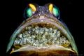 A jaw fish with hundred new life in its mouth. I spent 4 dives to search and wait this shoot.