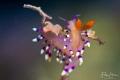 Flabellina exoptata, Raja4divers, Raja Ampat.
