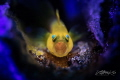 S C R E A M E R Lemon Goby with eggs (Lubricogobius exiguus)
