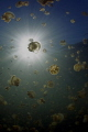 Jellyfish lake/Palau/Canon 5D MarkIII, 8-15mm fisheye lens, F16,1/160,ISO200.
