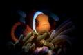 S P E C I A L Anemone Clownfish