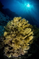 Yellow Corals