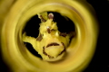Yellow Frog fish with chromatic tube tecnic