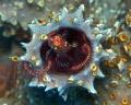 Lionfish  Pterois volitans    Juvenile  Picture taken in Cura ao