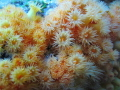 Yellow cluster anemone