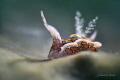 Sagaminopteron Psychedelicum