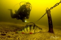 A diver investigates a perch in the fresh water of Vinkeveen in The Netherlands. The golden glow of the water comes from the peatery.