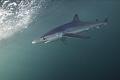 Blue Shark/ San Jose Lucas, Mexico/Canon 5D MarkIII, 16-35mm lens,F5.6,1/200,ISO400