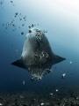 Sunny Side Up  Southern Ocean Sunfish - Mola ramsayi  Gilli Mimpang, Bali, Indonisia