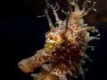 Hippocampus guttulatus Speckled Seahorse