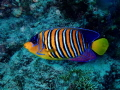 A Royal Angelfish, a beauty of the Red Sea.