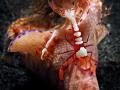 Emperor shrimps (Periclimenes imperator) riding on Ceratosoma trilobatum. Lembeh Strait, Northsulawesi.