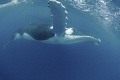 Portrait of humpback whale/Humpback whale/Vava'u Tonga