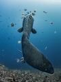 I Fink U Freeky  Southern Ocean Sunfish - Mola ramsayi  Gilli Mimpang, Bali, Indonesia