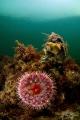 Dahlia anemone (Urticina felina), Grevelingen, The Netherlands.