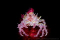 C A N D Y  Candy crab (Hoplophrys) Lembeh Strait, Indonesia.