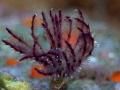 Sabellidae tube worm Still Life