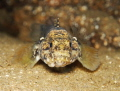 Look into my eyes - Rock Goby (Gobius paganellus) - Picture taken in Kenmare Bay, Ireland.