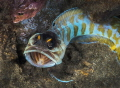Black cap jawfish