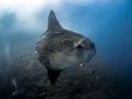 Hang on a minute .... !  Southern Ocean Sunfish - Mola ramsayi  Gilli Mimpang, Bali, Indonesia