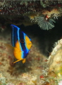 Queen angelfish   juvenile  Holacanthus ciliaris    Picture taken in Bonaire.