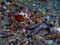 Trachinus draco CAMOUFLAGE