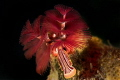 Christmas tree worm in red