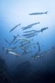 schooling barracudas