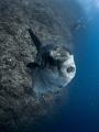 Hey you ...    Southern Ocean Sunfish   Mola ramsayi  Gilli Mimpang  Bali  Indonesia
