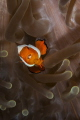 Clownfish and the sea anemone