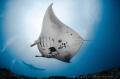 R A Y Reef manta ray  Mobulidae  Nusa Penida  Indonesia.