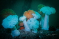 Puget Sounds' Giant Plumose Anemones
