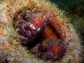 Gobius cruentatus INSIDERS