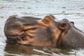 Happy Hippo in the mighty Zambezi river