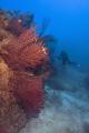red gorgonians