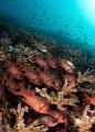 Soldierfish, Tatawa Besar, Komodo NP