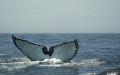 fluke.........  humpback whale