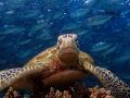 TURTLE Borneo Divers Mabul