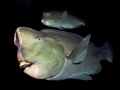 Bumphead Parrotfish near USS Liberty wreck (Tulamben)