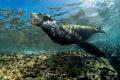 California sea lion (Zalophus californianus) at Los Islotes, La Paz, Mexico.