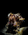Flamboyant Cuttlefish - Snooted