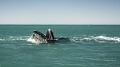 humpback feeding during the migration in South Africa - Benguela updwelling current