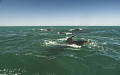 humpbacks feeding on the Benguela updwelling current