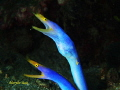 Dancing pair of Blue Ribbon Eels