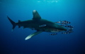 Oceanic Whitetip with company