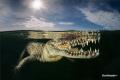 inside a Mangrove lived american crocodile