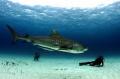 Lounging with Tigers/Canon 5D Mark II, fisheye lens, Ikelite underwater housing.