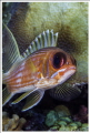 A close up of a Squirrelfish o Ambergris Caye, Belize.