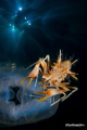 Lembeh strait   tiger shrimp in double exposure