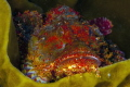 Popeyed scorpionfish with with it technicolor dreamcoat
